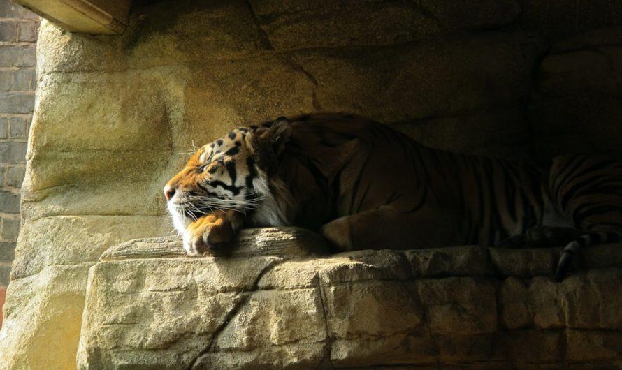 У тигра в зоопарке обнаружили коронавирус
